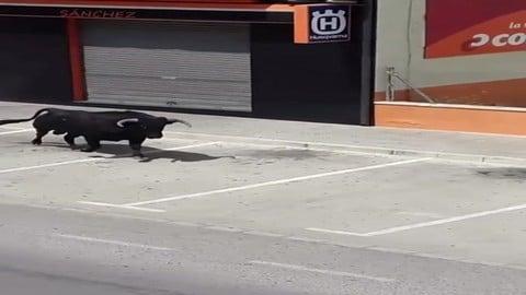 Toro scatenato prende a cornate una moto VIDEO